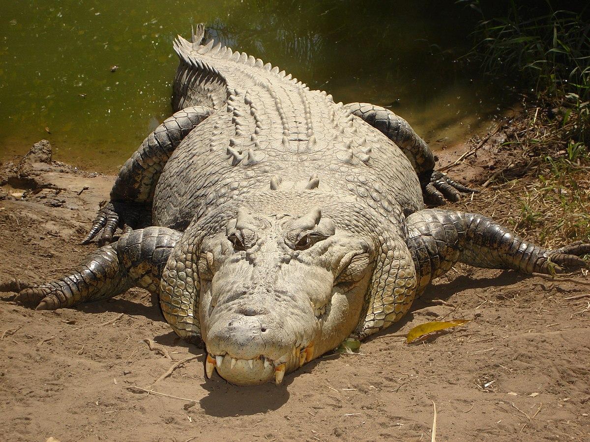 Cá sấu nước mặn – Wikipedia tiếng Việt