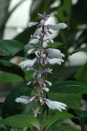 Salvia divinorum - Flowering Salvia divinorum