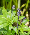 Salvia farinacea in Jardin des 5 sens.jpg