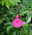 Salvia graham 3.JPG