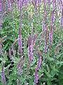 Salvia nemorosa02.jpg