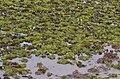 Salvinia auriculata DSC 0153.JPG