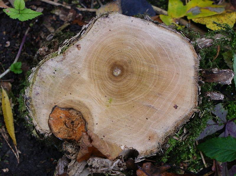 File:Sambucus nigra wood kz2.JPG