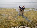 Sampling shoreline muck (8740851329).jpg