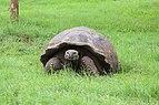 Santa Cruz giant tortoise 04.jpg