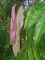 Saraca asoka leaves.jpg