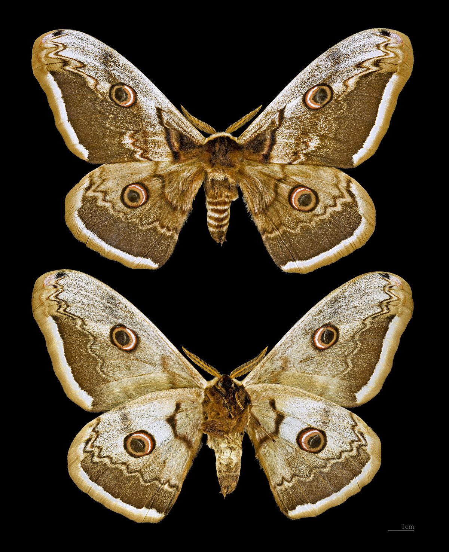 Grand paon de nuit wikip dia - Gros papillon de nuit dangereux ...