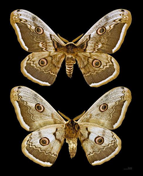 Okáň hruškový je našim najväčším motýľom