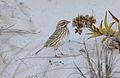 Savannah Ipswich Sparrow (Passerculus sandwichensis princeps) (11118161173).jpg
