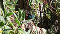 Scarlet-tufted Malachite Sunbird - non-breeding plumage.JPG