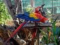 Scarlet macaws at dehiwala.jpg