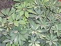 ScheffleraActinophylla.jpg