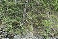 Schiefstehender Baum an der Rabischschlucht 20190819 001.jpg