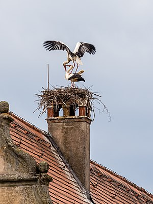 Mating storks on the nest