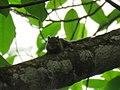 Sciuridae sp. (40243788195).jpg