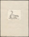 Sciurus vulgaris - 1700-1880 - Print - Iconographia Zoologica - Special Collections University of Amsterdam - UBA01 IZ20400013.tif