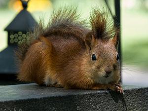 Red squirrel (Sciurus vulgaris) on a tombstone in Turku cemetery