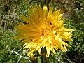 Scolymus grandiflorus Zingaro 0025.JPG