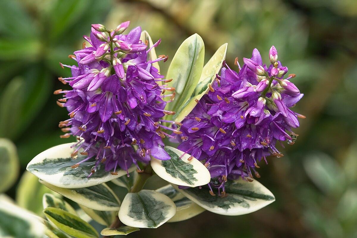 Hebe (plant) - Wikipedia
