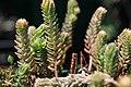 Sedum pinifolium Blue Spruce 2zz.jpg