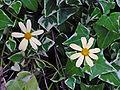 Senecio macroglossus C.jpg