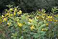 Senna auriculata (Ranawara or Avaram) in Hyderabad, AP W IMG 9245.jpg