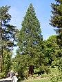 Sequoiadendron giganteum, Mammutbaum, Botanischer Garten Tübingen.jpg
