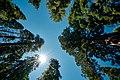 Sequoias (29475032358).jpg