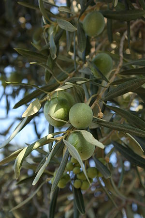 Sevillano Olives in Corning California
