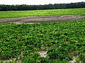 Shallow dip in sugar beet field - geograph.org.uk - 552524.jpg