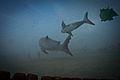 Shark and Orka Battle (6135300123).jpg