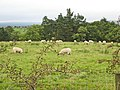 Sheep grazing above Steppings Farm - geograph.org.uk - 548253.jpg