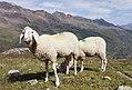 Sheep in Obergurgl 3.jpg