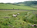 Sheep near Homeston Farm - geograph.org.uk - 484765.jpg