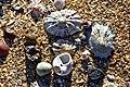 Shells on the beach (33410888191).jpg