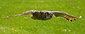 Siberian Turkamanian Eagle Owl - CNP 13431a (7039238239).jpg