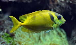 Neopterygii - Siganus corallinus