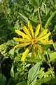 Silphium perfoliatum kz3.jpg
