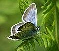 Silver-studded Blue Plebejus argus male (45530911742).jpg