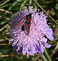 Six-spot Burnet Moth (Zygaena filipendulae) - geograph.org.uk - 911087.jpg