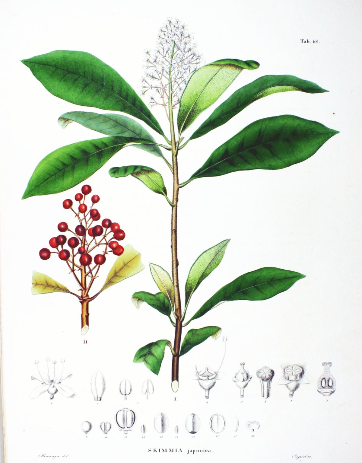 Skimmia japonica wikipedia for Skimmia pianta