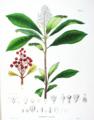 Skimmia japonica SZ68.png