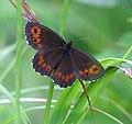 Skogsgräsfjäril - Flickr - Ragnhild & Neil Crawford.jpg