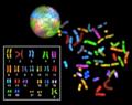 Sky spectral karyotype.png