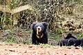 Sloth bear cub (765972895).jpg