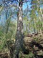 Smrk ztepilý v Podkomorských lesích.JPG