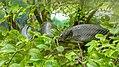 Snake in the Paramaribo Zoo (31189019282).jpg