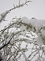 Snow in Spring - panoramio.jpg
