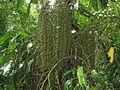Socratea exorrhiza (11033612935).jpg