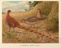 Soemmerring's Copper Pheasant by Edwin Megargee.png